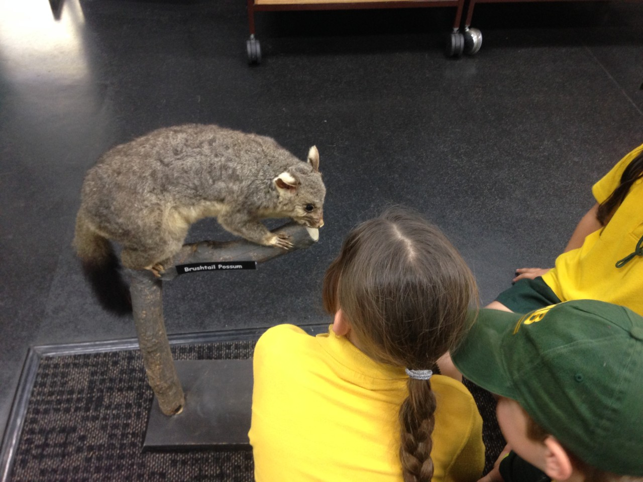 students looking at possum